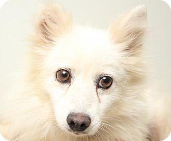 American Eskimo Dog Dog for adoption in Edina, Minnesota - Crystal Rose D151578: PENDING ADOPTION
