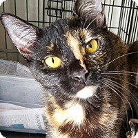 Calico Cat for adoption in Coral Springs, Florida - Gabby
