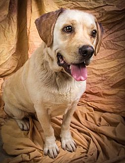 Labrador Retriever Mix Dog for adoption in Anna, Illinois - IVY