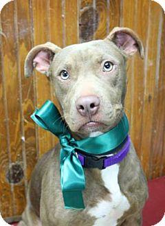 Labrador Retriever/Weimaraner Mix Dog for adoption in Norman, Oklahoma - Scotia