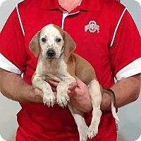 Adopt A Pet :: Storm - New Philadelphia, OH