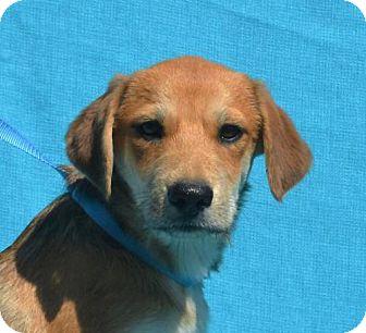 Labrador Retriever/Shepherd (Unknown Type) Mix Puppy for adoption in Mukwonago, Wisconsin - **DESTIN** MEET OCT 22ND!