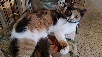 Domestic Shorthair Cat for adoption in Tampa, Florida - Tessa