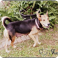 Adopt A Pet :: Shasta - Pittsburgh, PA