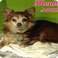Adopt A Pet :: MONKEY - San Antonio, TX