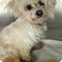 Adopt A Pet :: AJ - Oak Park, IL