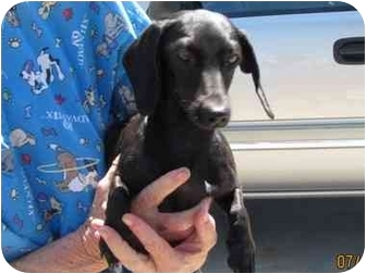 Dachshund Dog for adoption in Garden Grove, California - Midnight