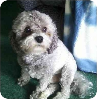 Maltese/Poodle (Miniature) Mix Dog for adoption in Conroe, Texas - Maxwell