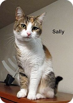 Domestic Shorthair Cat for adoption in Portland, Oregon - Sally