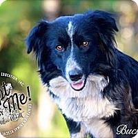 Adopt A Pet :: Buckwheat - Albany, NY
