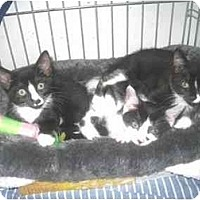 Adopt A Pet :: Kittens! - Quincy, MA