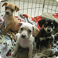 Adopt A Pet :: Munchkin - Phoenix, AZ