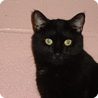 Domestic Shorthair Cat for adoption in Huntsville, Alabama - Skippy