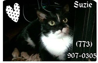 Domestic Mediumhair Cat for adoption in Chicago, Illinois - Suzy
