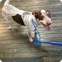 Adopt A Pet :: Shylo - Boston, MA
