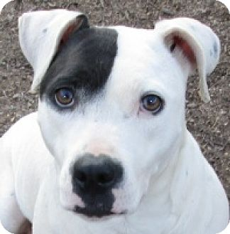 Dalmatian/Pit Bull Terrier Mix Dog for adoption in Adelphi, Maryland - Thumper
