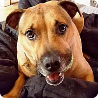Black Mouth Cur Mix Dog for adoption in Gettysburg, Pennsylvania - Mars