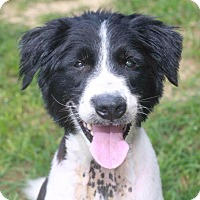 Australian Shepherd Dog for adoption in Rossville, Tennessee - Noah