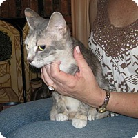 American Bobtail Cat for adoption in Mobile, Alabama - *Stormy
