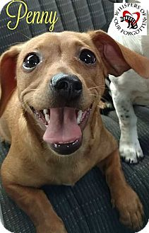 Dachshund/Chihuahua Mix Puppy for adoption in South Mills, North Carolina - Penny