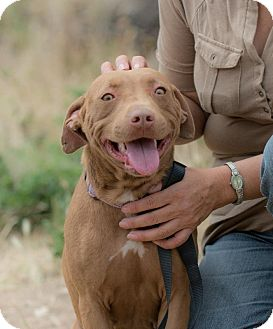 American Staffordshire Terrier/Bull Terrier Mix Dog for adoption in San Diego, California - Sandy