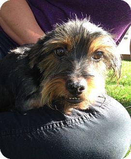 Yorkie, Yorkshire Terrier Dog for adoption in Temecula, California - Johan