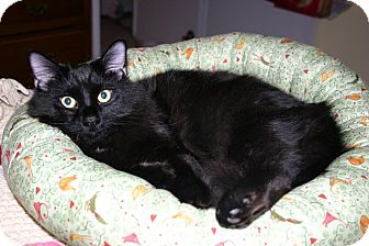 Domestic Shorthair Cat for adoption in St. Louis, Missouri - Twizzy