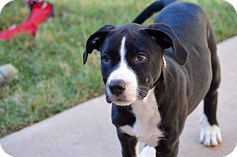 Boxer/Labrador Retriever Mix Puppy for adoption in Aubrey, Texas - Dottie