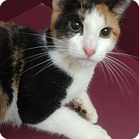 Domestic Shorthair Cat for adoption in Muscatine, Iowa - Mindy