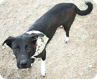 American Bulldog/Shepherd (Unknown Type) Mix Dog for adoption in Pilot Point, Texas - BYRON