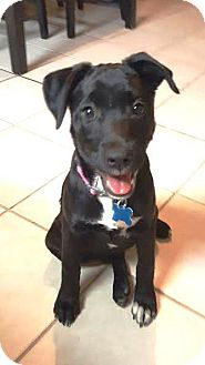 Labrador Retriever Mix Puppy for adoption in Houston, Texas - Woolly Bear