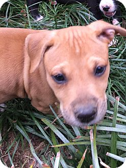 Boxer/American Pit Bull Terrier Mix Puppy for adoption in Harrisonburg, Virginia - Pumpkin  (ETAA)