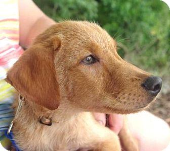 Labrador Retriever Mix Puppy for adoption in Groton, Massachusetts - Stone