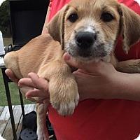 Adopt A Pet :: Ashley - Southbury, CT