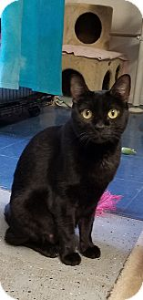 Domestic Shorthair Cat for adoption in Phoenix, Arizona - MYSTIC