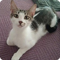 Domestic Shorthair Cat for adoption in Vancouver, Washington - Marbles