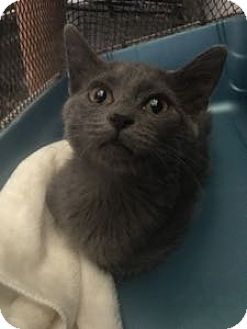 Russian Blue Kitten for adoption in Louisville, Kentucky - Jenna