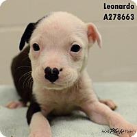 Adopt A Pet :: ROCKY - Conroe, TX