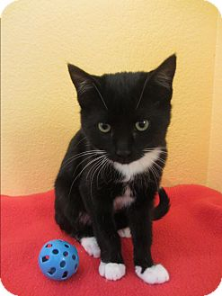 Domestic Shorthair Cat for adoption in Ridgway, Colorado - Ocelot