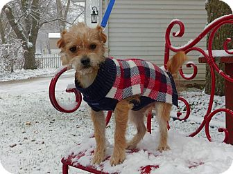 Wheaten Terrier/Terrier (Unknown Type, Small) Mix Dog for adoption in Fort Atkinson, Wisconsin - Franky