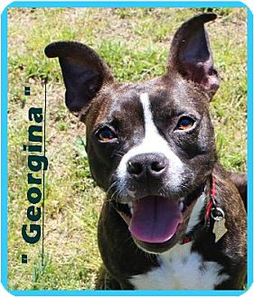 boxer and boston terrier mix georgina adopted dog 00161 north augusta sc 4107