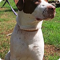 Adopt A Pet :: Gus - Reisterstown, MD