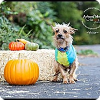 Adopt A Pet :: Victor - Shawnee Mission, KS