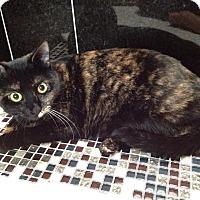 Calico Cat for adoption in Houston, Texas - Mocha