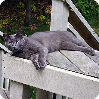 Russian Blue Cat for adoption in Howell, Michigan - Cole