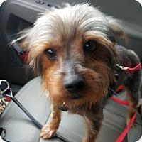 Columbus Oh Yorkie Yorkshire Terrier Meet Katie A Dog