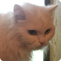Adopt A Pet :: Ice - Ennis, TX