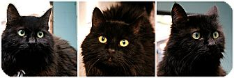 Domestic Longhair Cat for adoption in Forked River, New Jersey - Magic