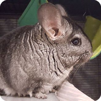 Chinchilla for adoption in Patchogue, New York - Bandit