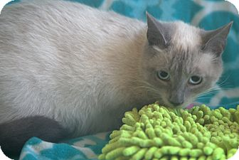 Siamese Cat for adoption in Allentown, Pennsylvania - Hyacinth